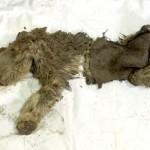 wolharige neushoorn baby