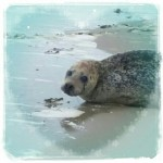 zeehondje op de Maasvlakte
